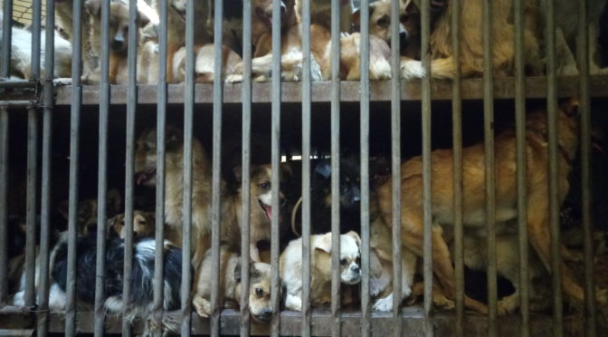 Yulin Dog Meat Festival: The Liberation